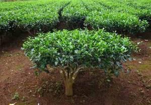 Чайное дерево в борьбе с молочницей