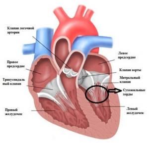 Дополнительная хорда в сердце у ребенка: виды хорд, диагностика и лечение