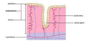 Причины тонкого эндометрия и особенности лечения патологии
